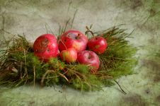 Rotten Apples And Moss Stock Photos