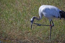 Free Crane In Marsh Royalty Free Stock Photos - 15666048