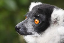 Free Lemur Stock Photo - 15666150