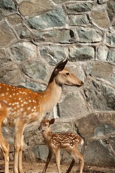 Free Deers Stock Photo - 15666170