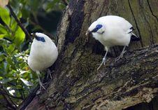 Free Bali Mynah Bird Stock Image - 15666671
