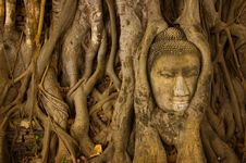 Free Stone Buddha Head On The Tree Root Royalty Free Stock Photography - 15666957