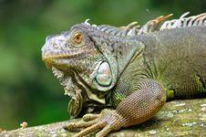 Free Rhinoceros Iguana Royalty Free Stock Images - 15667719