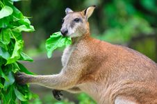 Free Red Kangaroo Enjoying Its Food Royalty Free Stock Image - 15667806