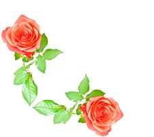 Free Red Rose Royalty Free Stock Photos - 15669028