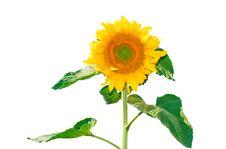 Free Sunflower Stock Photos - 15669063