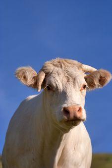 Free Cow In A Prairie Stock Photo - 15669510