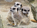 Free Meerkats Stock Photos - 15673173