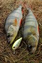 Free Two Perch Caught On Wobbler And Fishing Lures Royalty Free Stock Images - 15678869