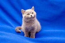 Free British Shorthair Blue Kitten Stock Image - 15670171