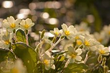 Free Primroses Stock Photos - 15670173