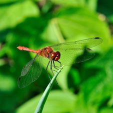 Free Dragonfly Royalty Free Stock Images - 15670679