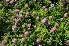 Flowers Of Clover Stock Photography