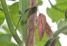 Elephant Hawk Moth, Deilephilia Elpenor. Royalty Free Stock Images