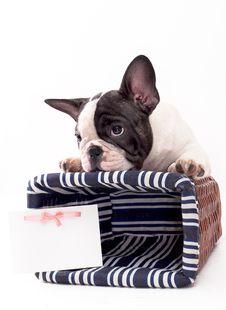 Free French Bulldog Stock Photos - 15671773