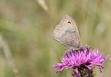 Free Meadow Brown On Knapweed. Stock Photography - 15672102