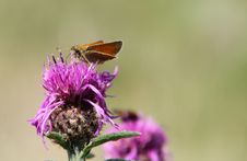 Free Small Skipper On Flower. Stock Images - 15672134