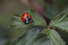 Free Ladybird Stock Image - 15672831