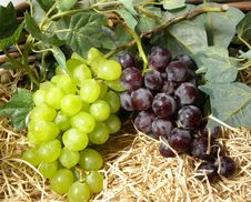 Free Grapes Royalty Free Stock Images - 15672949