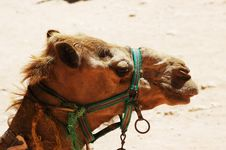 Free Camel Face Royalty Free Stock Image - 15673226