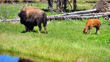 Free Bison & Calf. Yellowstone National Park Stock Photography - 15674582
