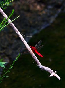 Free Red Dragonfly Royalty Free Stock Photo - 15674755