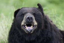 Free Grizzly Bear Royalty Free Stock Images - 15675219