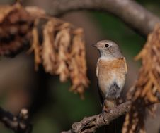 Common Redstart Stock Photo