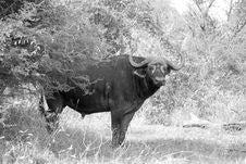 Free Buffalo Royalty Free Stock Photos - 15677658
