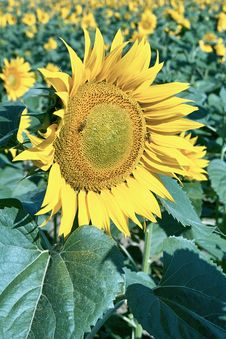 Free Sunflower Royalty Free Stock Photography - 15677707