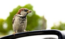 Free Small Sparrow Is Cadging Stock Photos - 15677743