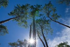 Free Pine Forest In North Of Thailand Stock Photo - 15677990