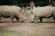 Free Black Rhinos Royalty Free Stock Image - 15678516