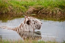 Free White Bengal Tiger Stock Photography - 15678602