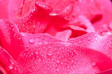 Free Rose Petals Royalty Free Stock Photo - 15678655