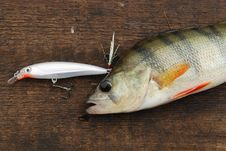 Free Perch Caught On Wobbler Stock Photography - 15679272