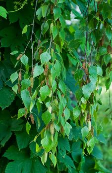 Branches Of Birch Royalty Free Stock Image