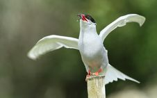 Free Tern Stock Photo - 15679360