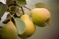 Two Ripe Pears Stock Images