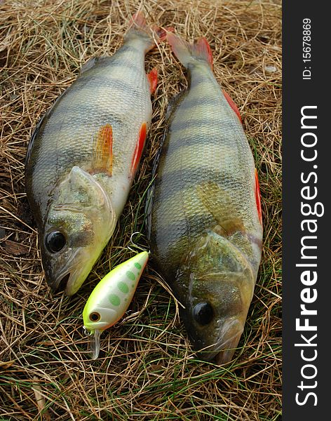 Two perch caught on wobbler and fishing lures