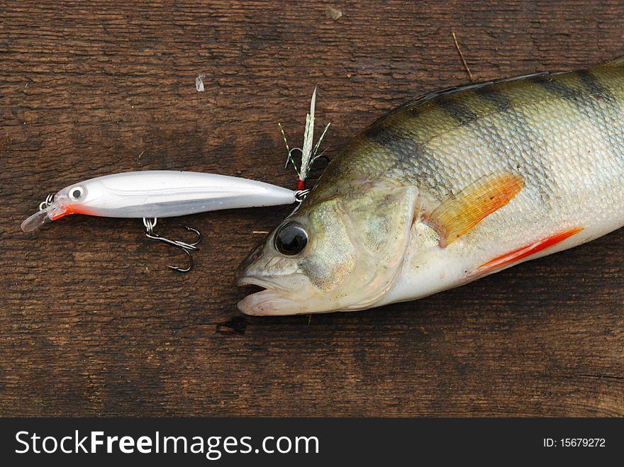Perch caught on wobbler