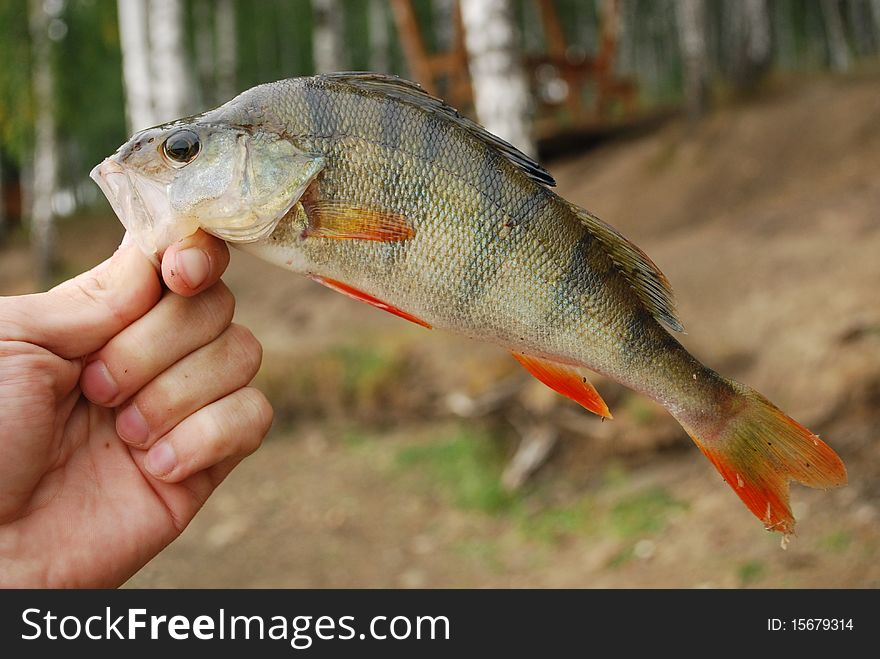 The perch in fisherman hand
