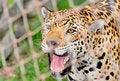 Free Cheetah Royalty Free Stock Photography - 15681467