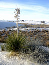 Free Yucca Plant At White Sands Stock Photo - 15684530