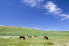 Free Cattle In Summer Meadow Royalty Free Stock Image - 15680076
