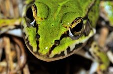 Free Moor Frog (Rana Arvalis) Face Stock Images - 15680154