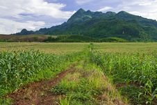 Free Corn Field In North Of Thailand Royalty Free Stock Photos - 15680278