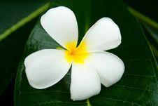 Free Lan Thom Flower Royalty Free Stock Image - 15681766