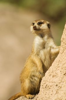 Free Suricata Standing On A Rock. Royalty Free Stock Photos - 15682418