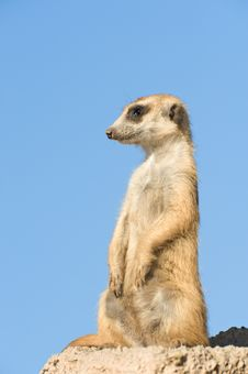 Free Suricata Standing On A Rock. Royalty Free Stock Photo - 15682455